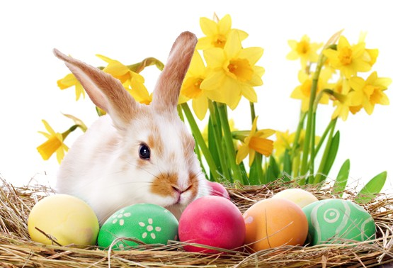 easter-bunny-daffodils-e1422534223656